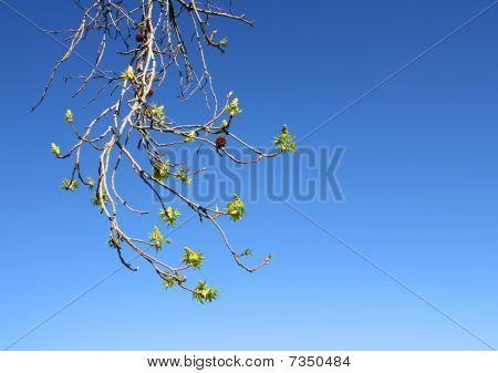 Budding Tree Branch