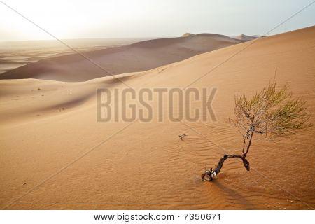 Small Tree In  Sahara Dunes.