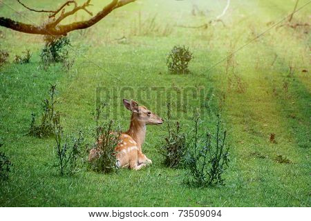 The Fallow Deer (dama Dama) Resting In The Grass