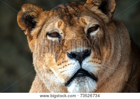 Lion in the African savannah nature daytime poster