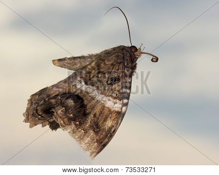 A Close Up Of A Black Witch Moth