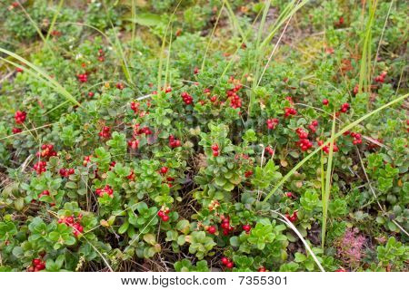 Glade Of A Red Mature Cowberry
