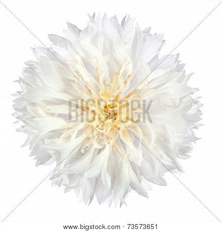 White Cornflower Flower Isolated On White Background