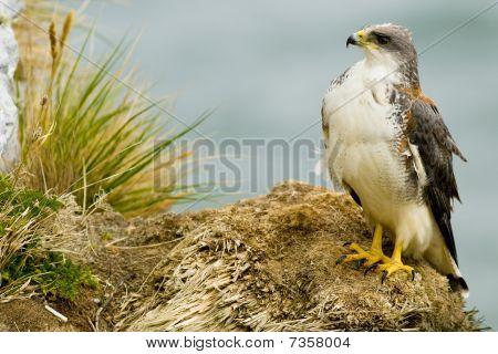 Rote gesicherten Falke