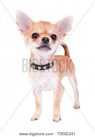 small self-confident Chihuahua puppy portrait