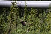 A view of an Alaska wild moose hiding under the pipeline poster