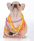 female french bulldog puppy wearing colorful necklace on white background poster