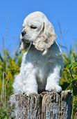 cute american cocker spaniel puppy sitting on a wood stump poster