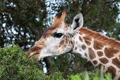 Giraffe reaching to the top of a tree to eat it's leaves poster