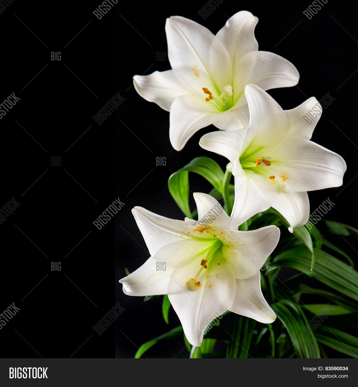 White Lily Flowers Image Photo Free Trial Bigstock