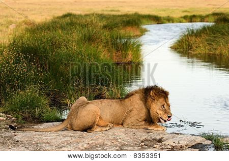 Lion On A Watering Place