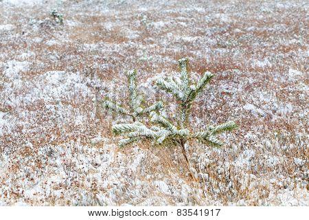 little spruce tree on snow meadow in winter poster
