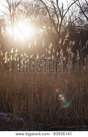 Foxtails grass under sunshine ,close-up selective focus