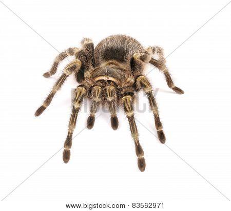 Chaco Golden Knee Tarantula On White Background
