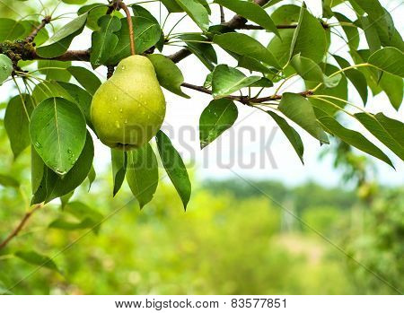 Pear Fruit