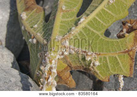 group of mealybug on green leaf