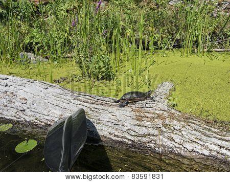 Turtle On Large Log