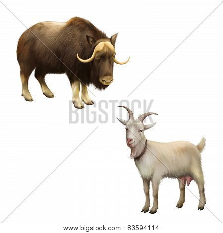 Illustration of musk-ox, Goat standing up isolated on a white background