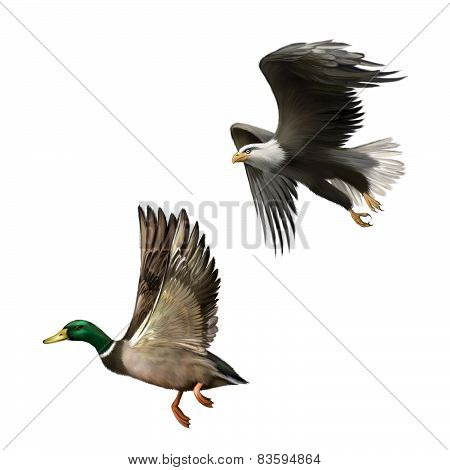 Male Mallard Duck Flying, illustration of american bald eagle in flight isolated on white background