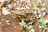 This Cane Toad photographed in Jamaica has secreted a milky white poison called bufotoxin from glands behind its eyes and is highly toxic to animals if eaten. poster