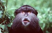 male blue monkey, portrait poster