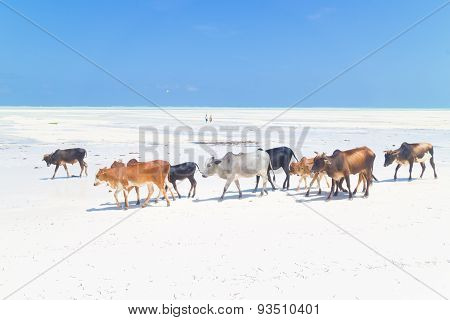 Cattle on Paje beach, Zanzibar.