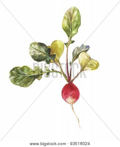 Round Garden Radish With Leaves In Watercolor