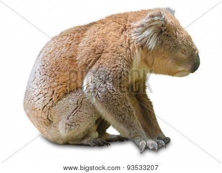 Koala sitting