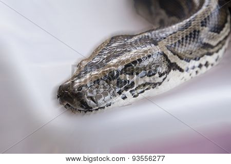 A large snake species Python reticulatus Wong Pythonidae big slender. Yellow brown stripes