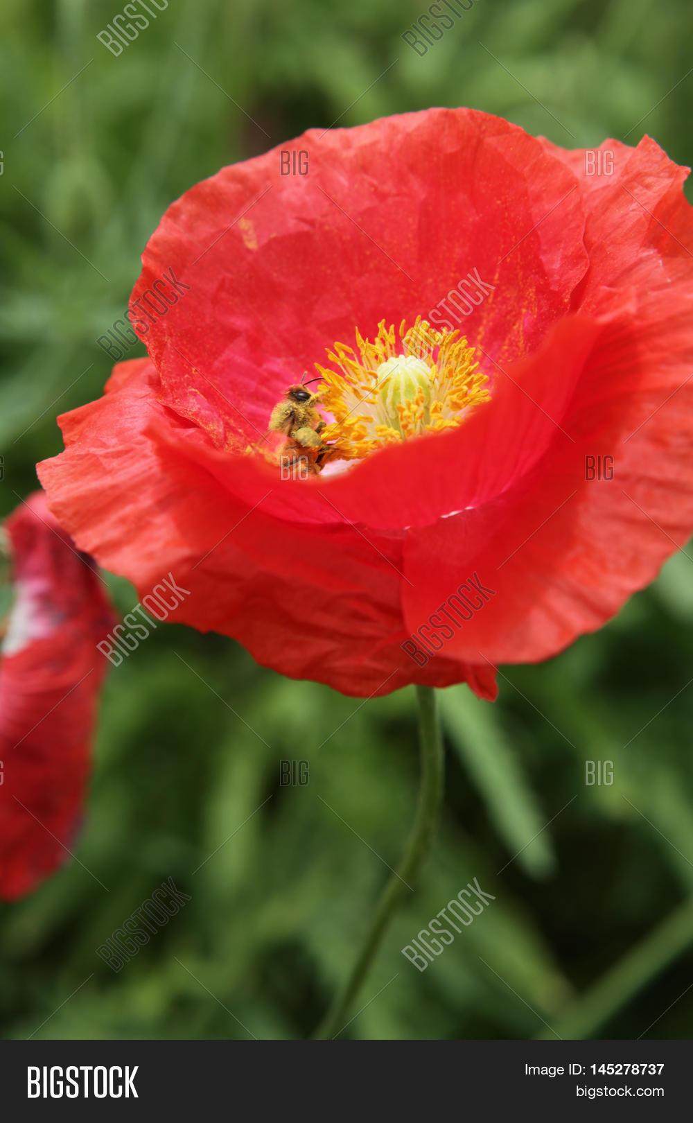 Beautiful Poppy Flower Image Photo Free Trial Bigstock