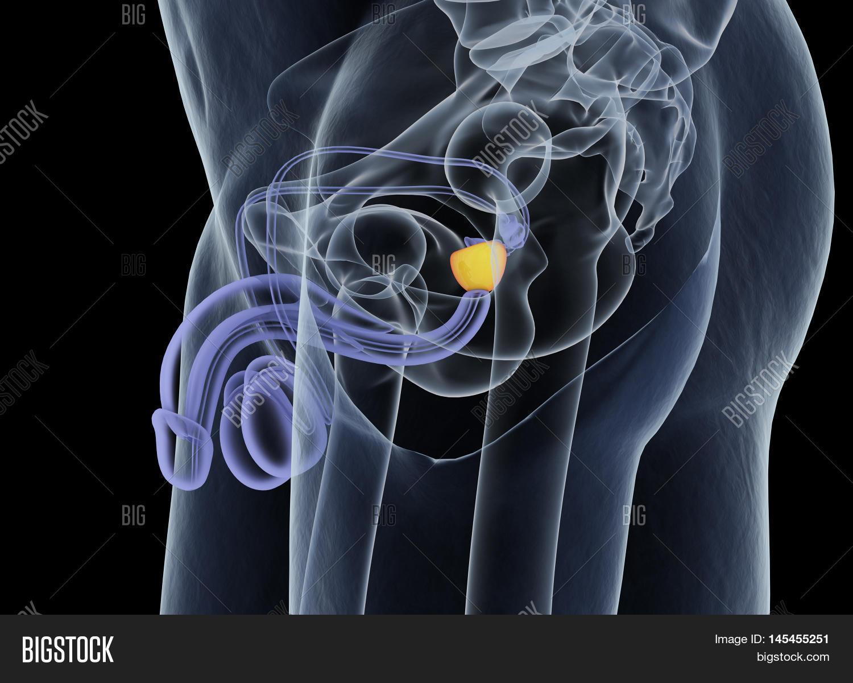 Prostate Gland. Male Image & Photo (Free Trial) | Bigstock