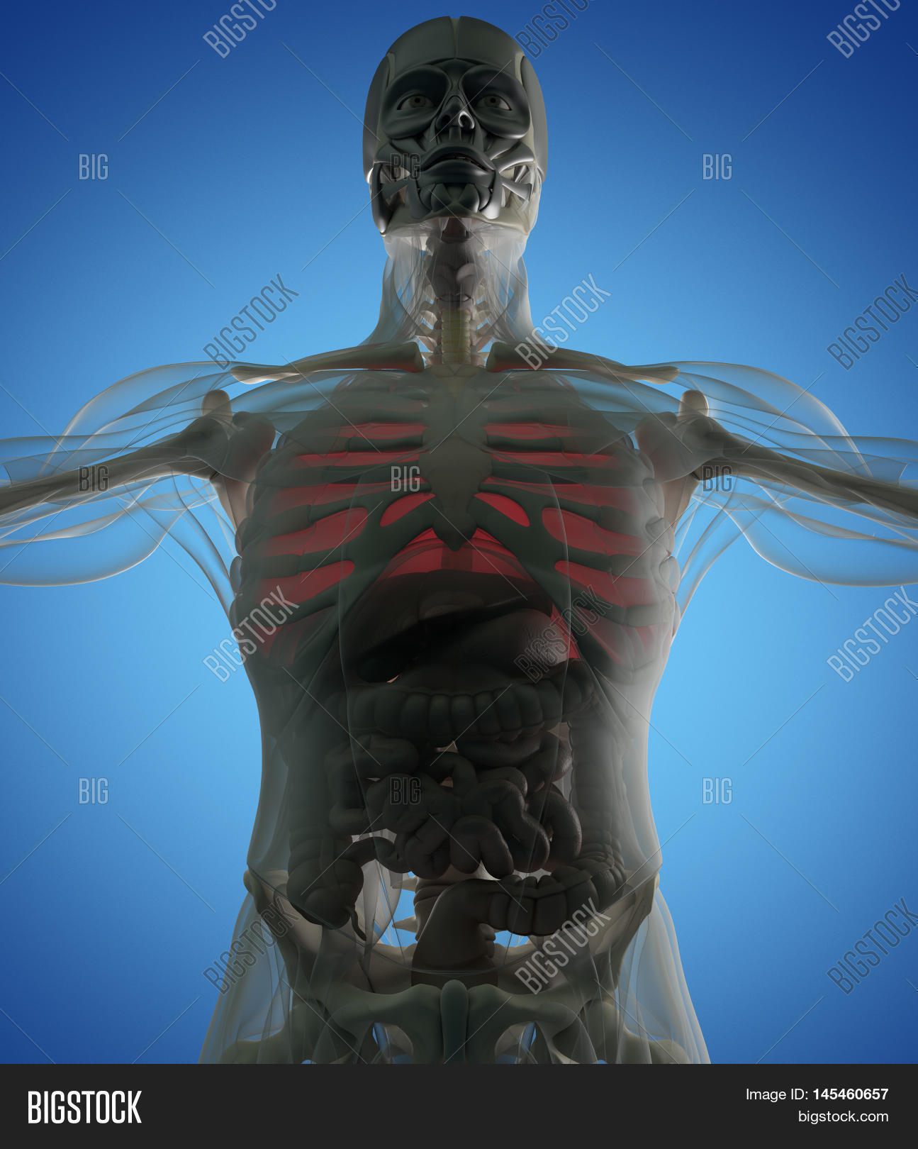 Human Anatomy Lungs Image Photo Free Trial Bigstock