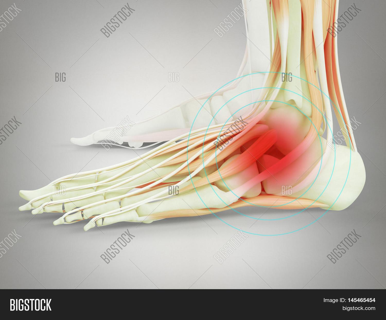 Human Anatomy Ankle Image & Photo (Free Trial) | Bigstock