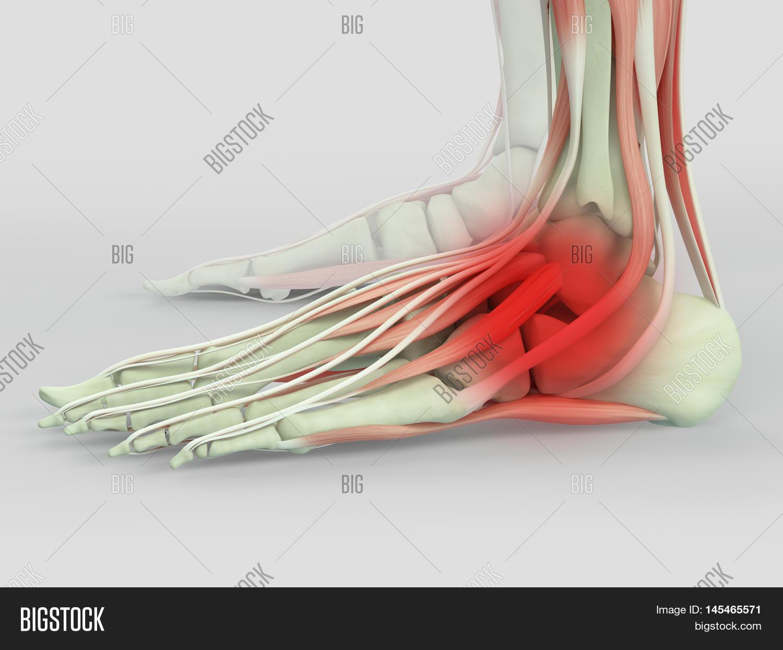 Human Anatomy Ankle Image Photo Free Trial Bigstock