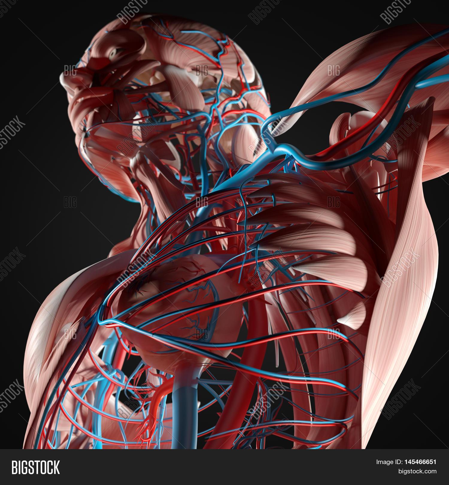 Human Anatomy Torso Image Photo Free Trial Bigstock