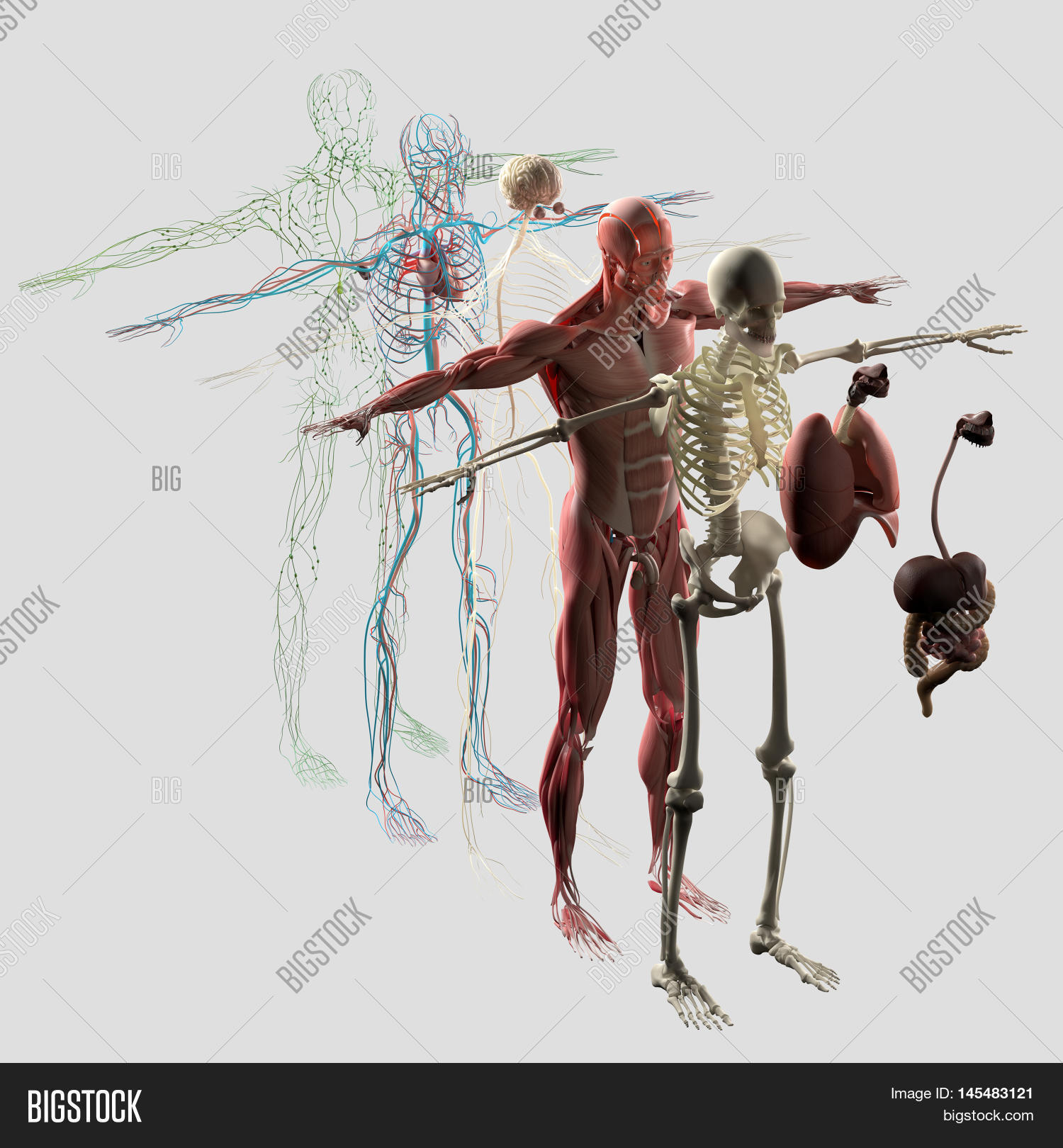 Human Anatomy Exploded Image Photo Free Trial Bigstock