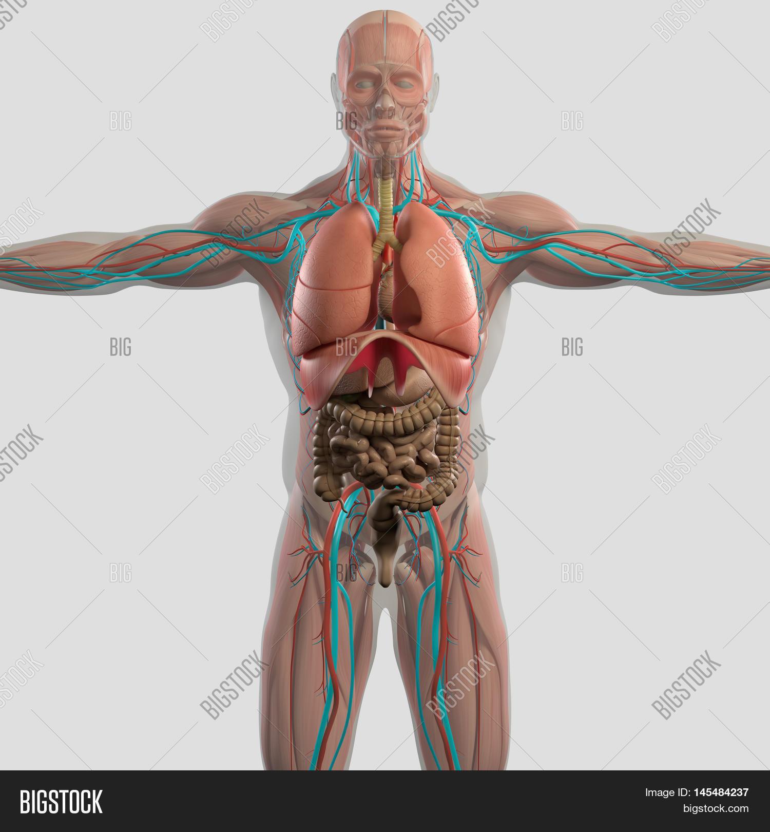 Human Anatomy Male Image Photo Free Trial Bigstock