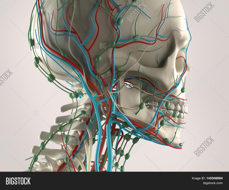 Human Anatomy View Image & Photo (Free Trial) | Bigstock