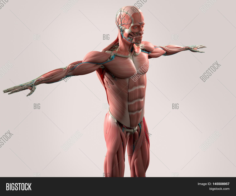 Human Anatomy Showing Image & Photo (Free Trial) | Bigstock