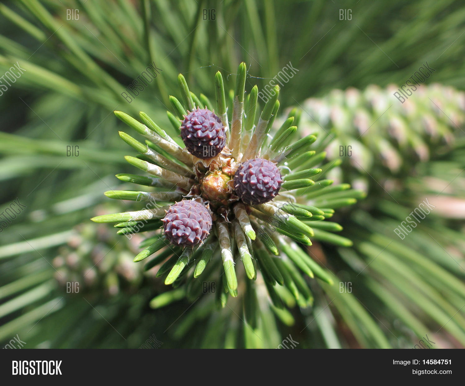 Young Pine Tree Image Photo Free Trial Bigstock