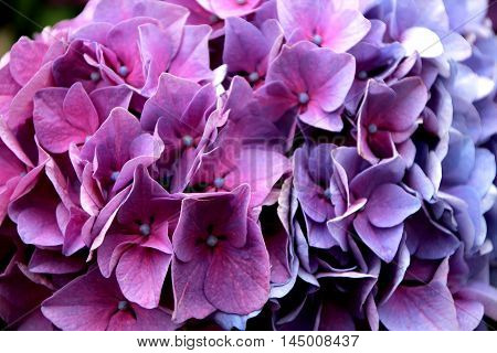 a close up of beautiful flowers of hydrangea