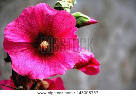 a close up of hollyhock from my garden