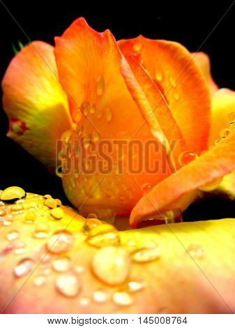 close up of water droplets on rose petals
