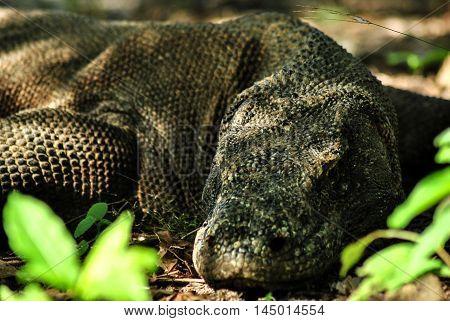 Sleeping Komodo Dragon in one of the villages in Rinca island.