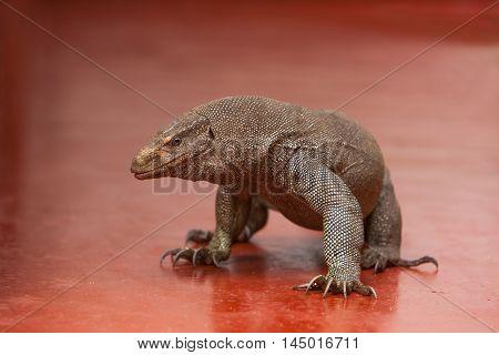 Monitor lizard walking in backyard - Hikkaduwa Sri Lanka
