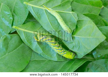 Closeup of young and adult green Caterpillar of death's head hawkmoth on green leaves
