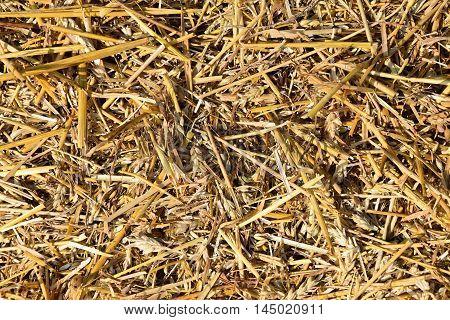 Threshed straw. Straw background texture. Wheat straw.