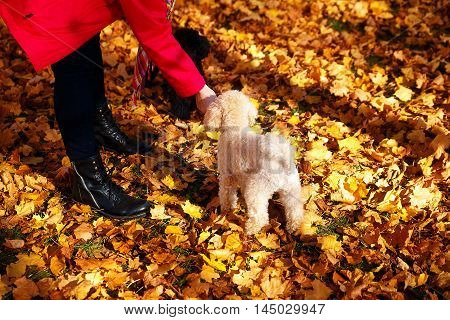 Woman Feeds Poodle In A Beautiful Autumn Park.