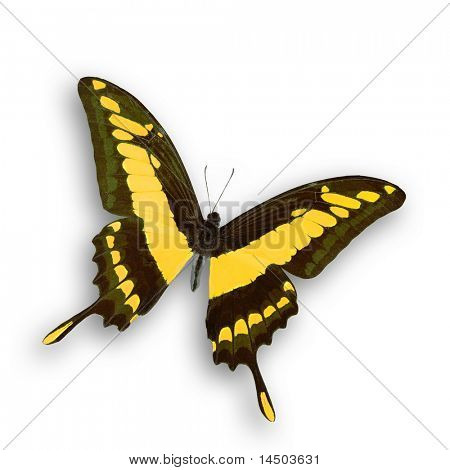 A wonderful isolated yellow butterfly fly with open wings poster