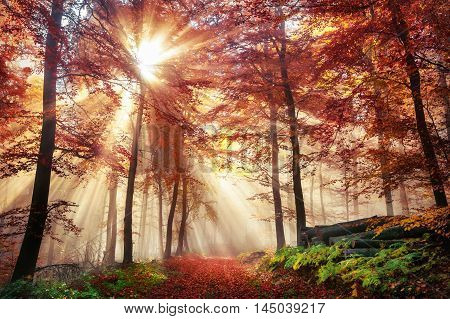 Rays of bursting sunlight in a misty forest with red and gold colors in autumn